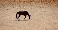 Close up of a Wild Horse  sniffing the desert sand and then sitting down.