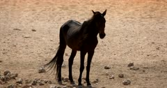 Close up of a Wild Horse standing in front of the camera with its long hair blowing in the wind.
