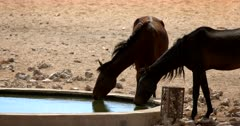 Close up of Wild Horses drinking at a water hole, one horse splashing with its hoof.