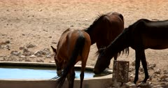 Slow motion close up of Wild Horses drinking at a water hole, one horse splashing with its hoof.