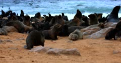 Medium shot on the beach covered in Cape Fur seals with many babies.