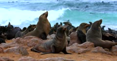 Close up shot of three Adult Cape Fur Seals sniffing the air,looking snobbish