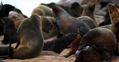 Close up of moms and babies in the Cape Fur Seal colony nursery being a little aggressive and baring their teeth.
