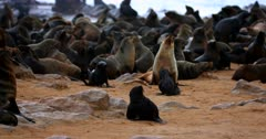 Medium shot of moms and babies in the Cape Fur Seal colony nursery.
