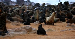 Tracking shot of an adult Cape fur Seal waddling on the beach passing babies suckling on their moms.