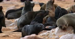 Close up of Baby Cape Fur Seals baring their teeth and being aggressive.