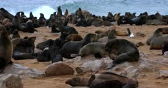 Wide shot across the Cape Fur Seal Colony on the beach.