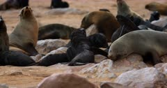 Close up of Baby Cape Fur Seals baring their teeth,fighting,biting  and being aggressive.