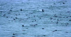 Cape Fur Seals jumping and feeding in the Atlantic ocean.