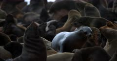 The overcrowded nursery of Cape fur Seals.