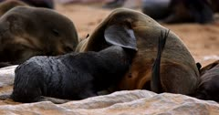 Close up of a Juvenile Cape Fur Seal suckling on its mom, testing a few teats.