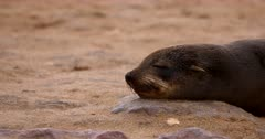 Close up of an Adult Cape Fur Seals face Snoozing with its head resting on a rock.