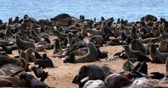 Pan across the crowed Cape Fur seal Colony Nursery.