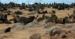 Adult Cape Fur seals getting angry and baring their teeth.
