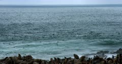 Wide pan shot across the Atlantic ocean with Cape Fur seals frolicking in the sea.