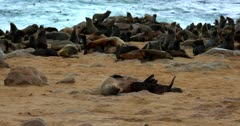 Medium shot of a Cape Fur Seal mom rolling on the beach sand while its juvenile suckles and feeds.