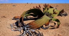 Pan along a flowering female Welwitschia mirabilis plant, on the Welwitschia Plains  with female strobili .