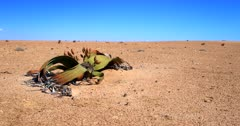 Wide Pan from a flowering female Welwitschia mirabilis plant, on the Welwitschia Plains with female strobili to the bare desert sand..