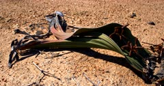 Close up Pan along a flowering male Welwitschia mirabilis plant, on the Welwitschia Plains  with male strobili .