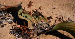 Close up of a flowering male Welwitschia mirabilis plant, on the Welwitschia Plains  with male strobili.