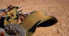 Extreme Close up of the flowers and fossilized head of a flowering male Welwitschia mirabilis plant, on the Welwitschia Plains with male strobili.
