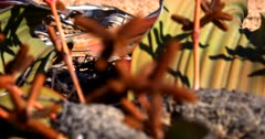 Extreme close up shot,with varied field of focus,of a flowering male Welwitschia mirabilis plant, on the Welwitschia Plains with male strobili.