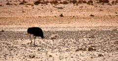 A Male Ostrich, Struthio camelus searches for food off the bare desert sand.