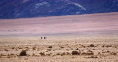 Wide shot of three Wild Horses,Equus caballus walking in the heat haze across the Garub desert towards the water hole.