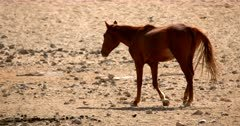 Close up shot of a Wild Horse in good condition walking and looking back at the camera.