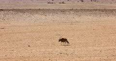 Tracking Shot of a Gemsbok,Oryx gazella at the Garub Desert