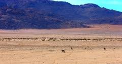 Wide shot of  three Gemsbok,Oryx gazella walking at the Garub Desert