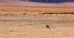 Tracking Shot of a Gemsbok,Oryx gazella at the Garub Desert with the heat haze of the day in the distance.