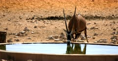 Close up Shot of a Gemsbok,Oryx gazella at the Garub Desert  sipping water at the water hole.