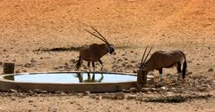 Two Gemsbok,Oryx gazella at the Garub Desert  sipping water at the water hole.