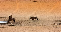 Three Gemsbok,Oryx gazella at the Garub Desert  sipping water at the water hole. The third one that joins in has a screw horn that must have been damaged in a fight.