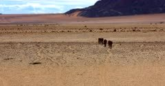 Wide shot of a band, herd, harem, or mob of Feral horses following one another walking down the worn path to the water hole.