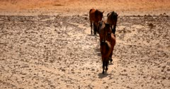 Medium shot of a band, herd, harem, or mob of Feral horses following one another trotting down the worn path to the water hole.