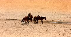 A band, herd, harem, or mob of Feral horses reach the water hole where Gemsbok are drinking.