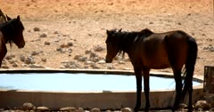 Close Up shot of  Wild Horses and a Gemsbok at a water hole in Aus.