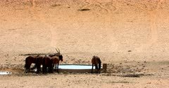 A band, herd, harem, or mob of Feral horses at the water hole with a Gemsbok.