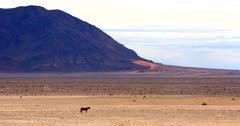 A  wide shot of a lone Wild horse swaying its tail in the bare Garub desert.
