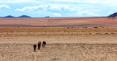 The  band, herd, harem, or mob of Feral horses return to the Garub desert after drinking.