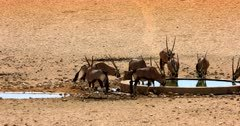 Two Gemsbok are so eager, they gallop to get to the water hole where the rest of the herd is drinking