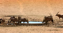 A herd of Gemsbok at a waterhole showing their hierarchy status by chasing youngsters away.