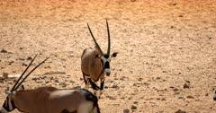 A Gemsbok approaches the rest of the herd at a waterhole, licking its lips.