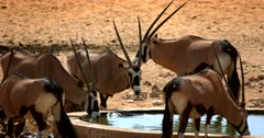 Close up of Gemsbok drinking water at a water hole.