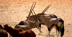 Close up of a Gemsbok at a water hole.