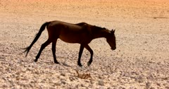 Close up tracking shot of a Wild Horse in Aus trotting down to the water hole full of wild horses and Gemsbok.
