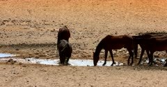 Wild horses frolicking in a puddle of water, one lays down and rolls about having a bath.