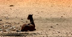 A weary, tired Wild Horse sits resting  on the Desert sand